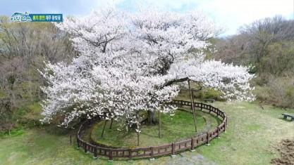 시크릿 아일랜드 봄의 향연 제주 왕벚꽃